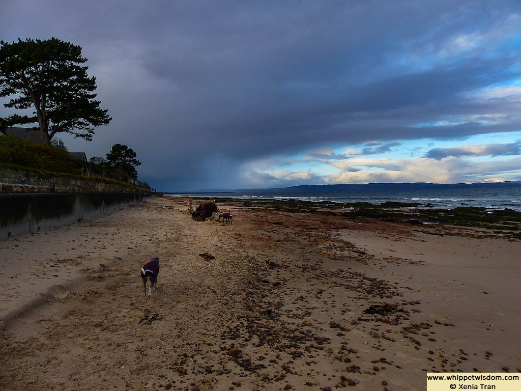 two whippets in Winter coats on beach at low tide with patch of blue sky opening among dark clouds