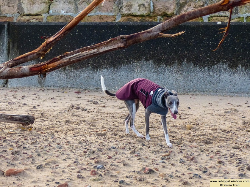 blue whippet in Winter coat on beach by large driftwood tree