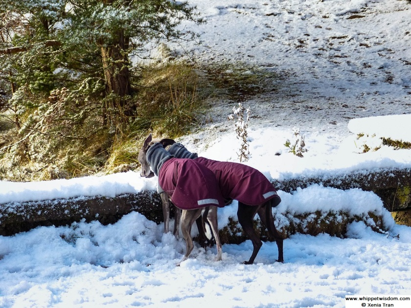 two whippets in the snow in winter jackets, sniffing the wall by the loch
