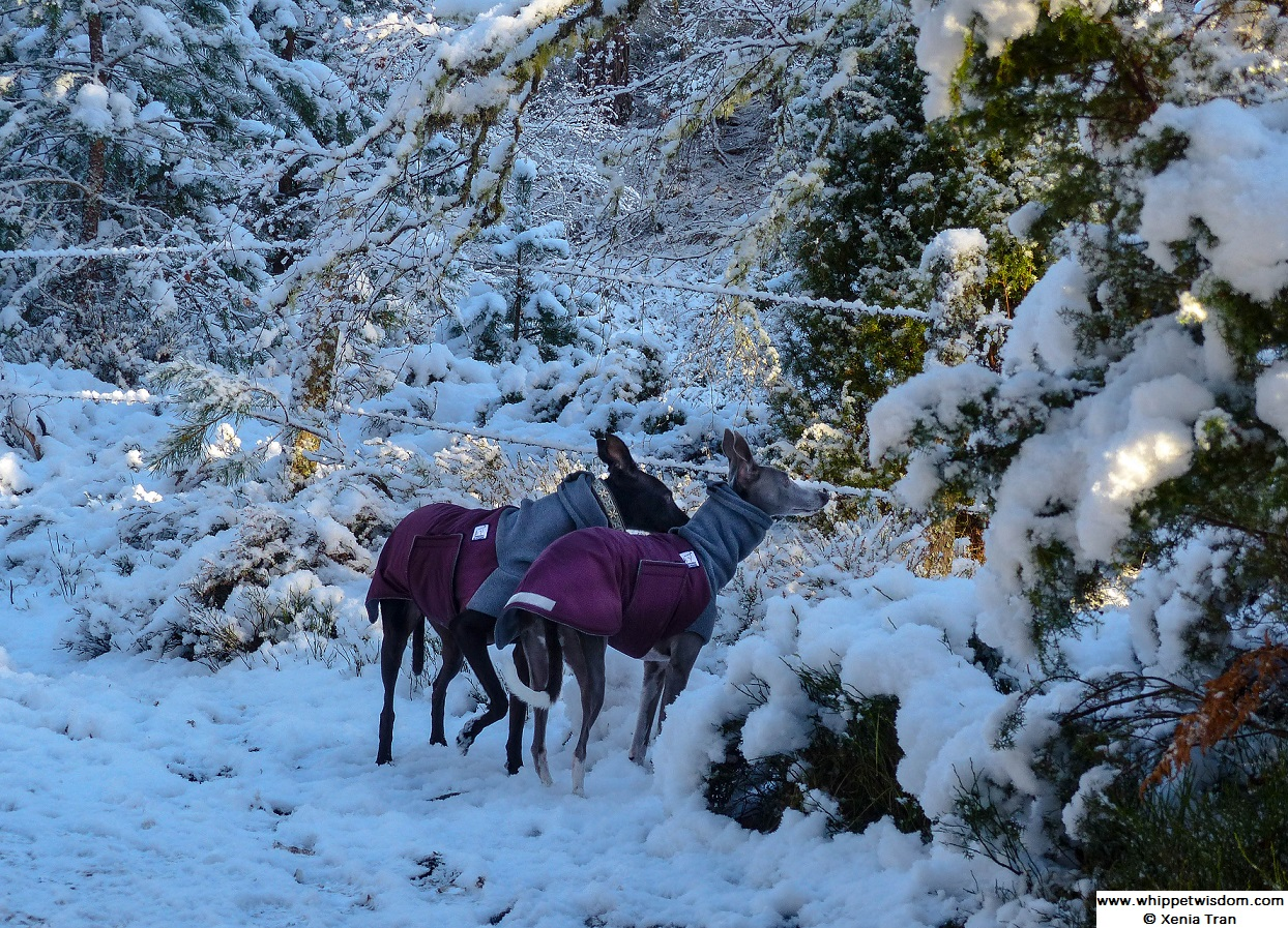 black and blue whippets in winter coats on snow covered forest trail