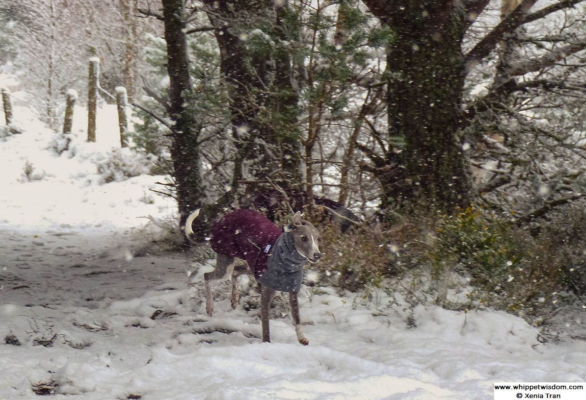 blue whippet in winter coat running on in snow flurry on forest trail