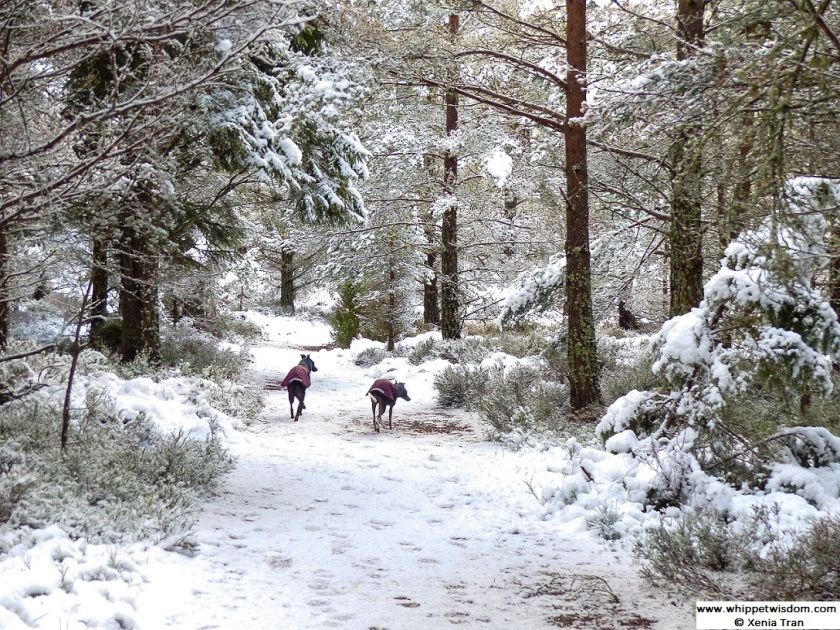 two whippets in winter coats walking on snow covered forest trail