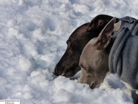 a blue whippet and a black whippet sniffing the snow