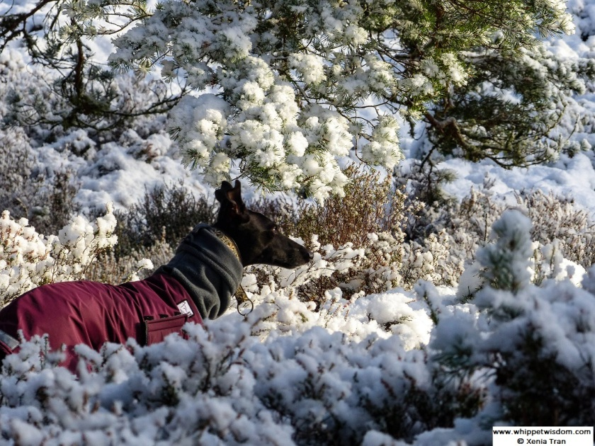 black whippet in winter coat on snow covered forest trail