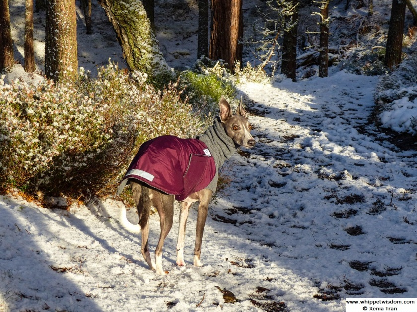 blue whippet in winter coat on snow covered forest trail