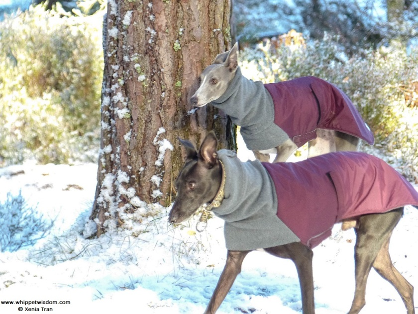 two whippets in winter coats on snow covered forest trail