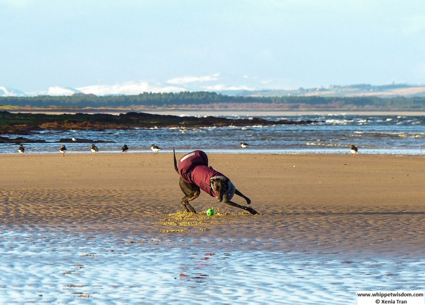 black whippet in winter coat catching a green ball on the tidal sands with oystercatchers in the background