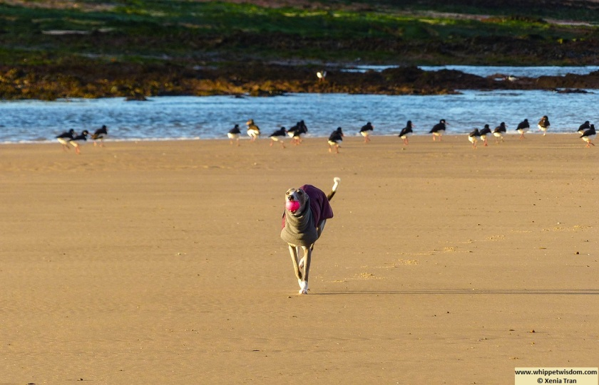 blue whippet in winter coat running with a pink ball on the tidal sands with oystercatchers in the background