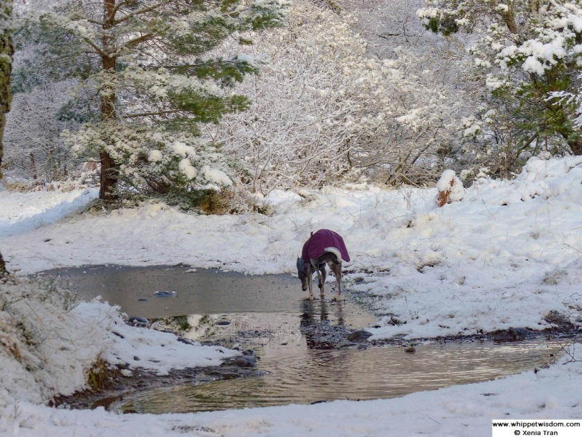 blue whippet in winter coat by frozen puddle in snow covered forest