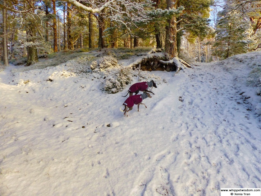 two whippets in winter coats climbing snow covered forest trail
