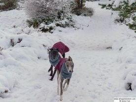 a black whippet and a blue whippet in winter coats running on a snow covered forest trail