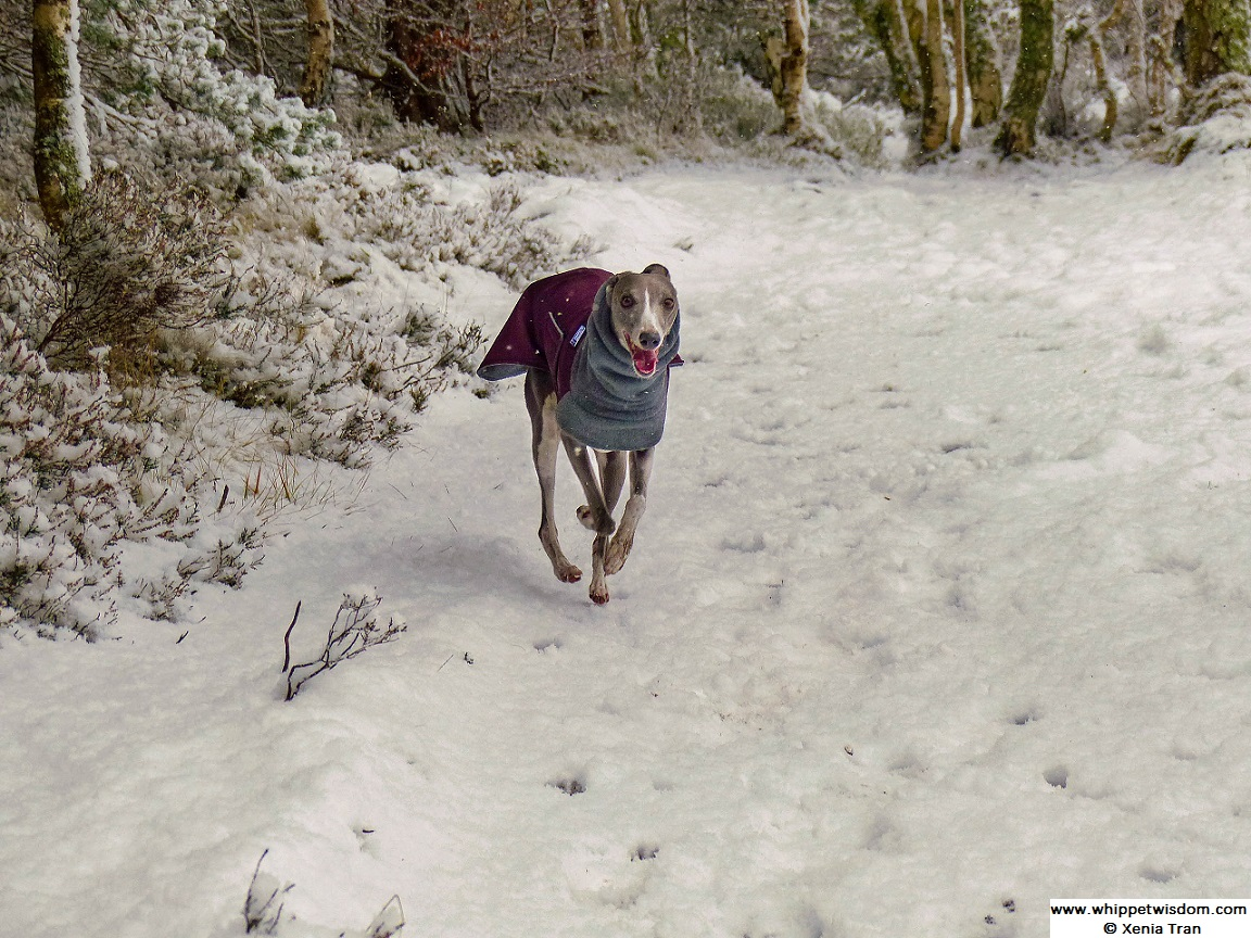 blue whippet in winter coat running in snow covered forest