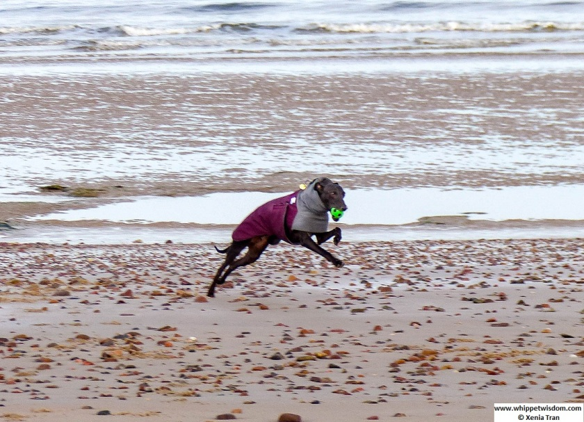 a black whippet in a winter coat running on tidal sands
