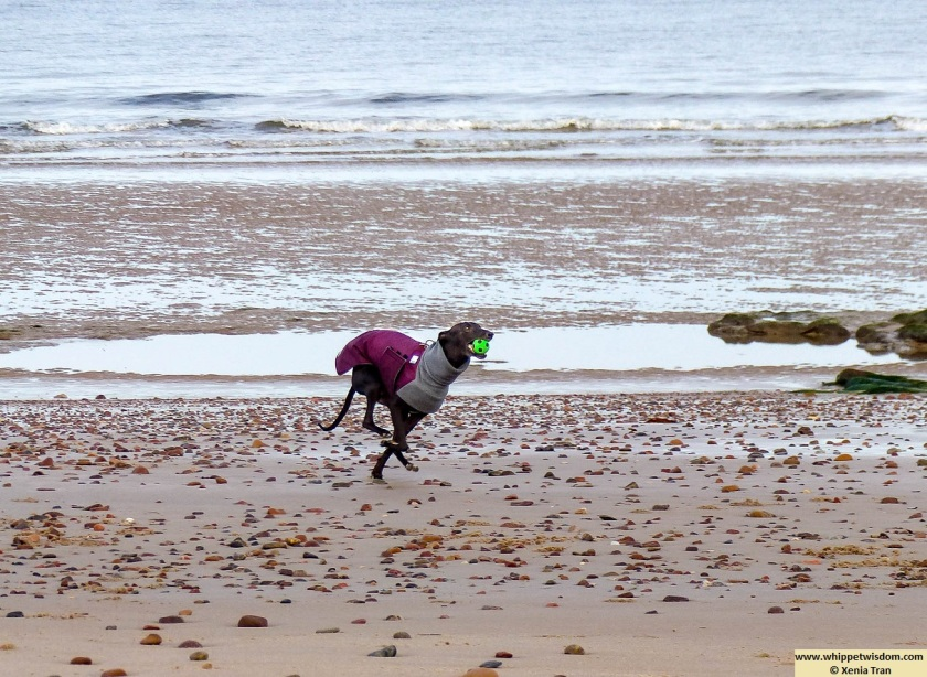 a black whippet in winter coats running on tidal sands