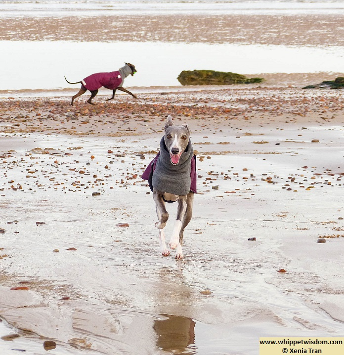 a blue whippet and a black whippet in winter coats running on tidal sands