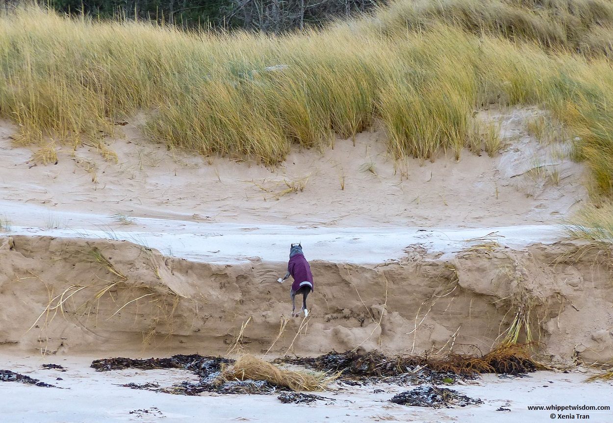 blue whippet in winter coat leaping from beach to dunes