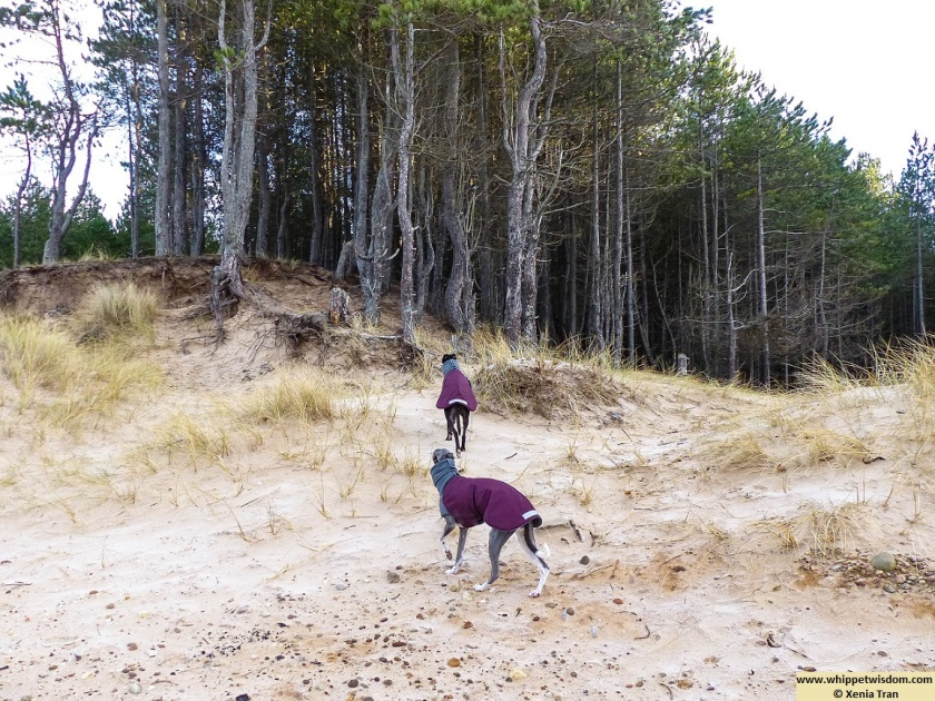 two whippets in winter coats climbing the dunes towards the forest