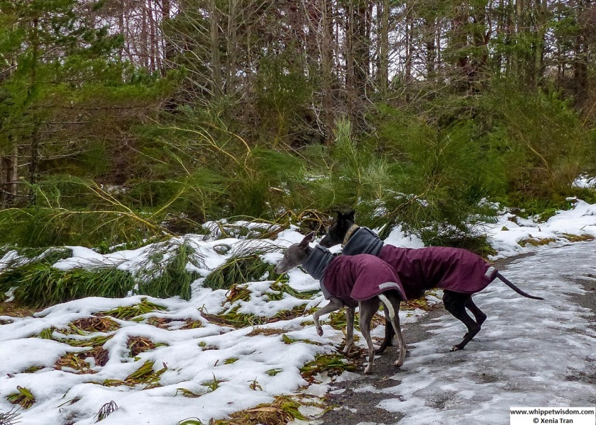 two whippets in winter coats on forest trail with melting snows