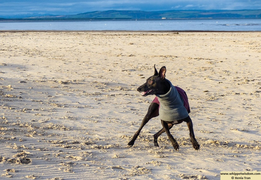 black whippet in wintercoat playing on the beach
