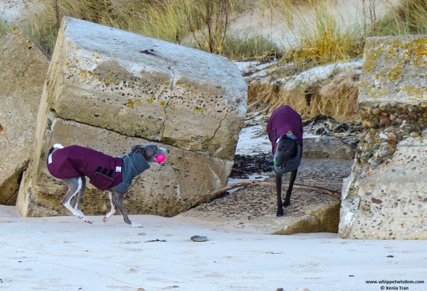 a blue whippet with a pink ball and a black whippet with a green ball in winter jackets running between weathered pillboxes on a frosty beach
