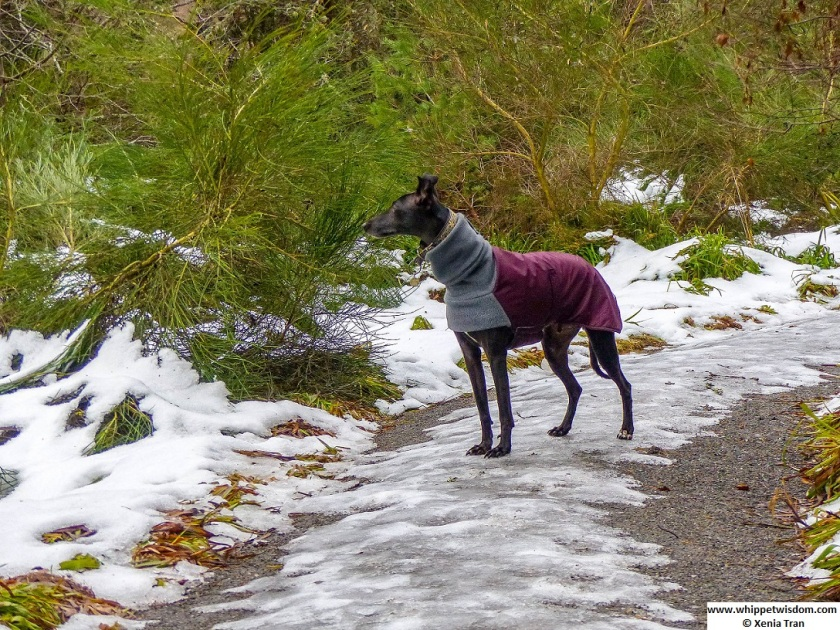 a black whippet in a winter jacket pausing in a winter glen with snow and ice