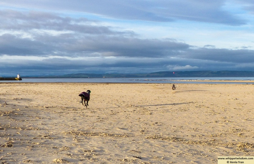 two whippets in winter coats running on a sunlit beach
