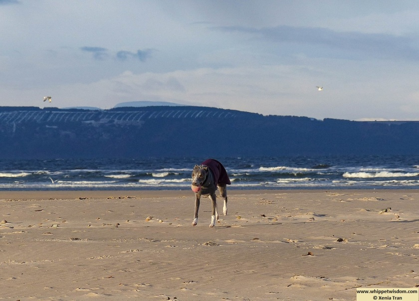 blue whippet in wintercoat running on the beach with a pink ball