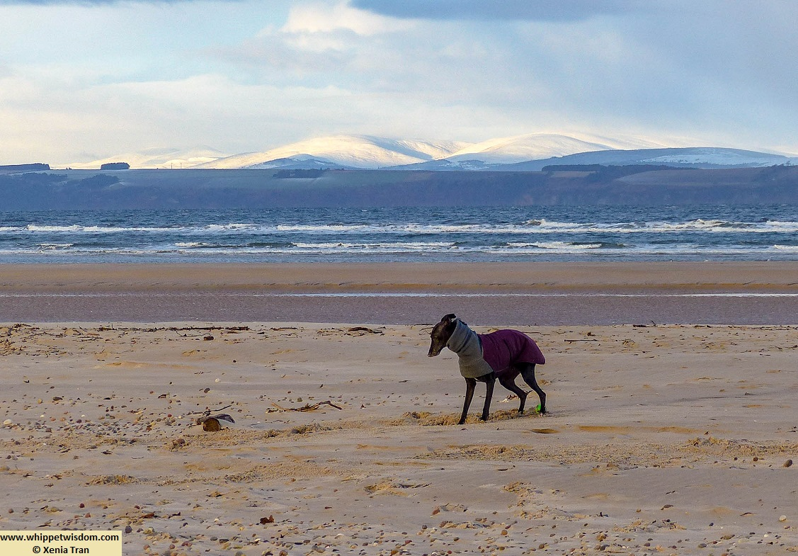 black whippet in wintercoat on the beach with snow covered mountains across the water
