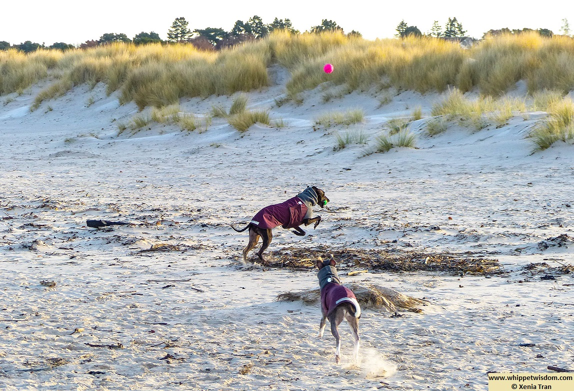 two whippets in winter coats playing with balls and leaping across the beach by the dunes