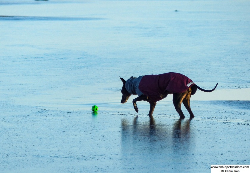 black whippet in winter coat walking through thin ice to retrieve a green ball resting on the ice