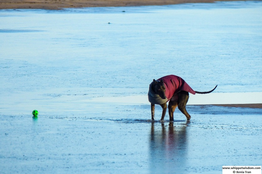 a black whippet in a wintercoat in an iced lagoon with a green ball resting on the ice