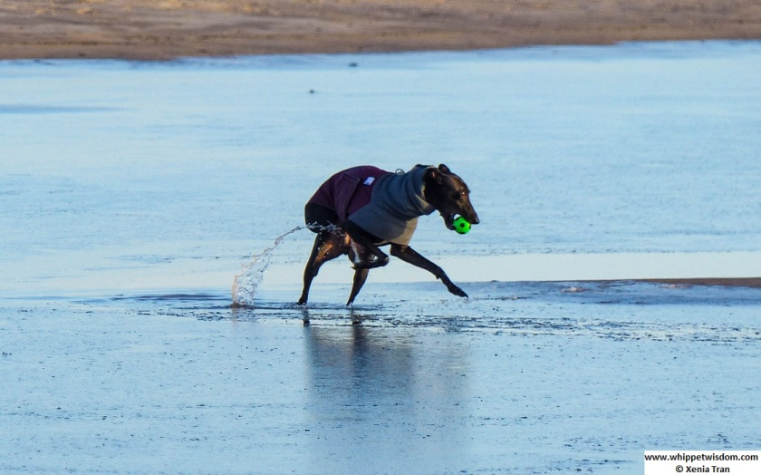 black whippet in winter coat retrieving a green ball from the iced lagoon