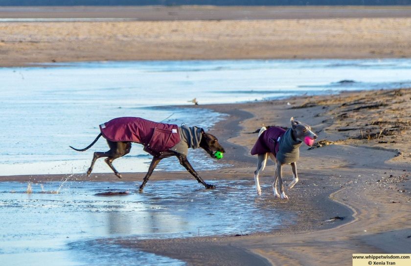 black whippet in winter coat retrieving a green ball from the iced lagoon and a blue whippet in a wintercoat with a pink ball on the tidal sand