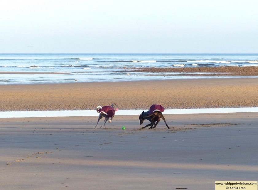 two whippets in winter coats playing with balls on the beach at low tide