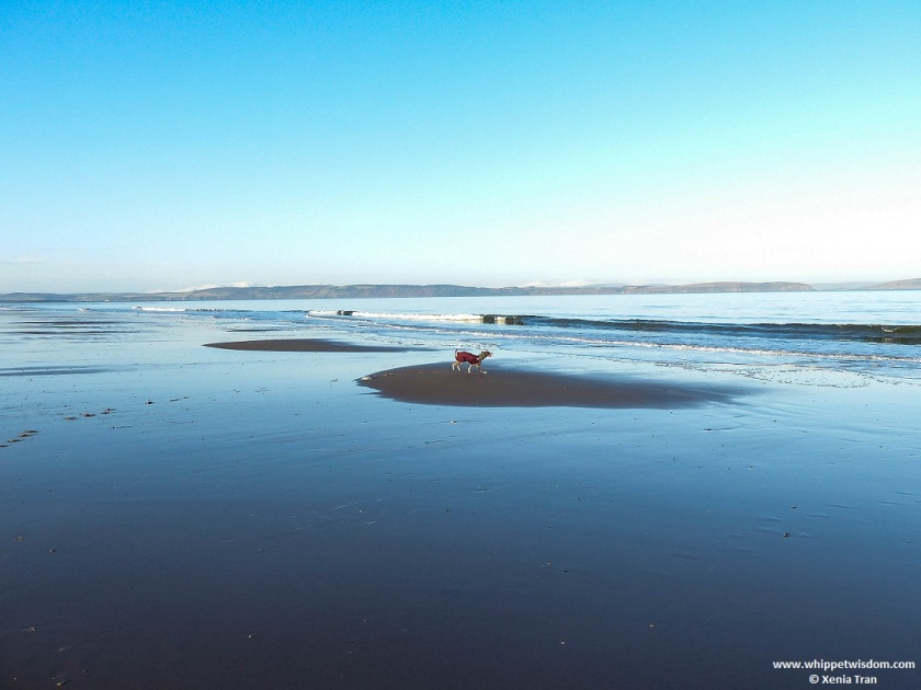 blue whippet in winter jacket on small sandbar with tide rolling out to sea on a cold Winter morning with snow capped mountains on the horizon