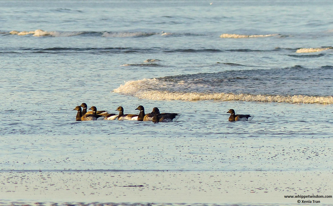 brent geese swimming in the sea