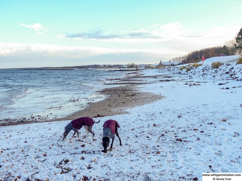 two whippets in winter jackets on snow-covered beach at high tide