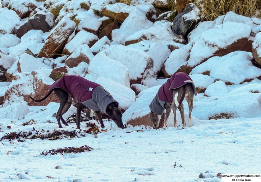 black whippet and blue whippet in winter jackets sniffing a large stone on the beach covered in snow