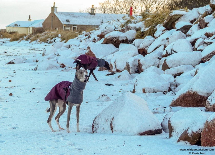 two whippets in winter jackets on snow-covered beach beside the seawall