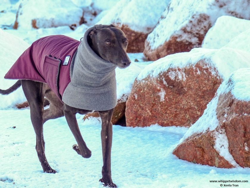 black whippet in winter jacket walking beside large stones on snow covered beach