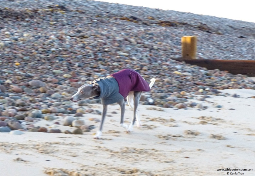 blue whippet in a winter jacket walking on the beach