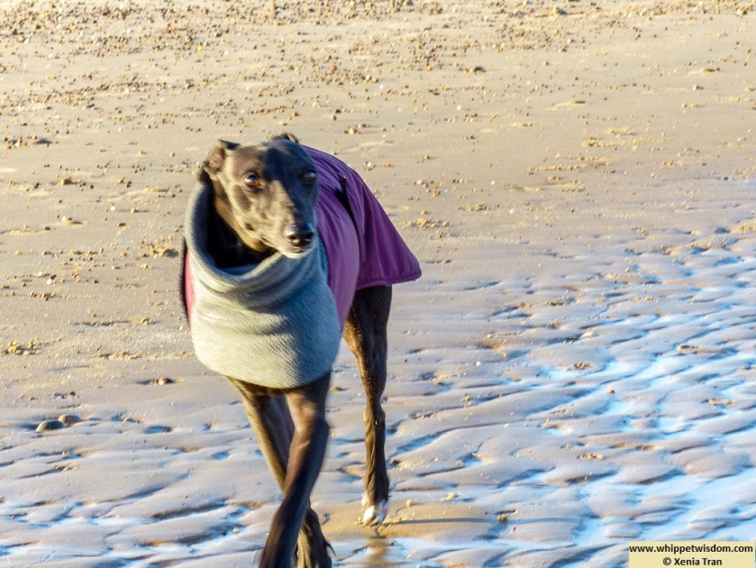black whippet in a winter jacket walking on the beach