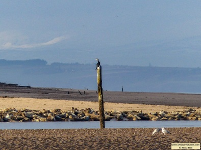 a cormorant on a pole watching seals bask in the sun