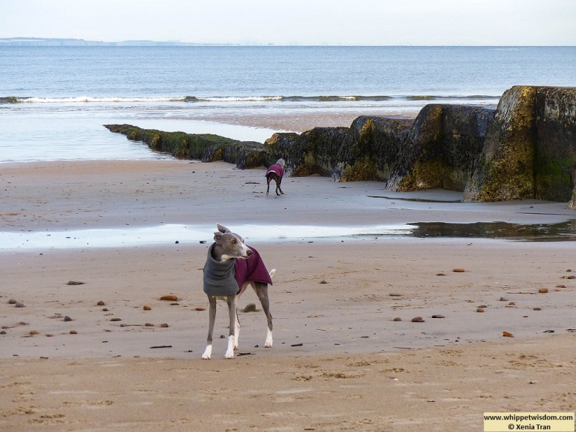 two whippets in winter jackets by the breakwater at low tide