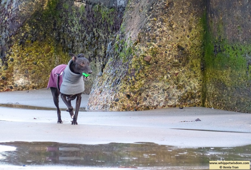 black whippet in winter jacket walking past an exposed breakwater at low tide