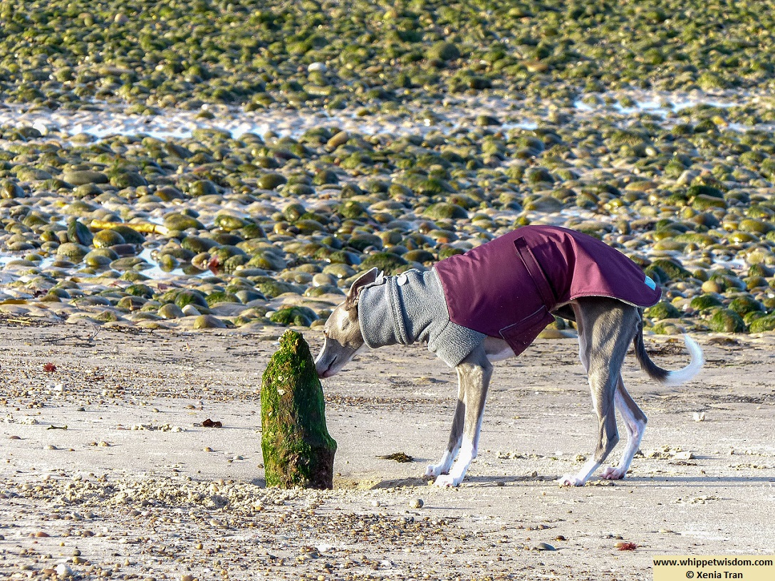 blue whippet in winter jacket sniffing remains of a wooden pole