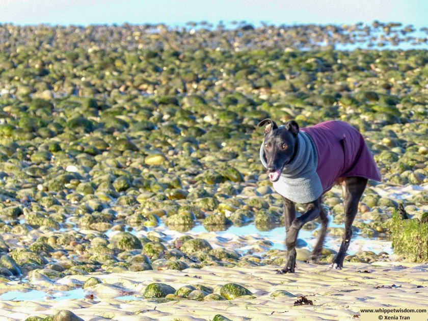 black whippet in winter jacket on sands at low tide