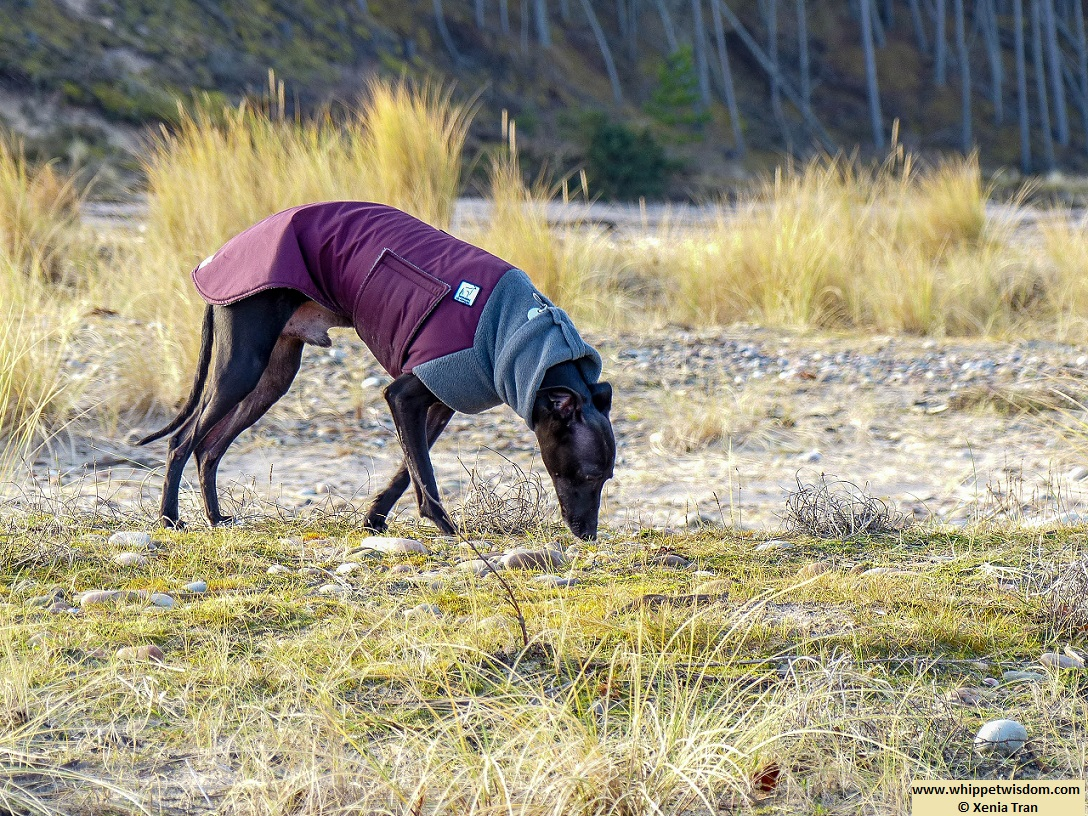 black whippet in winter jacket sniffing the dunes