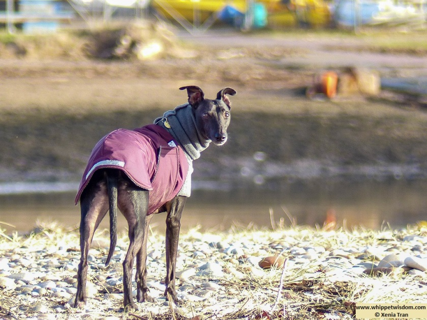 black whippet in winter jacket looking over his shoulder