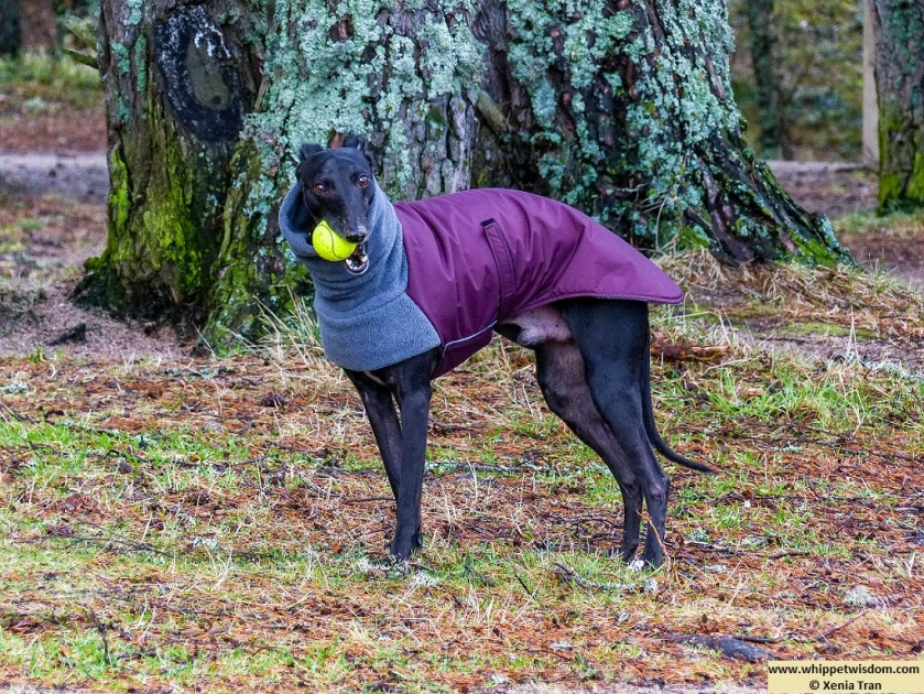 black whippet in winter jacket with a yellow ball